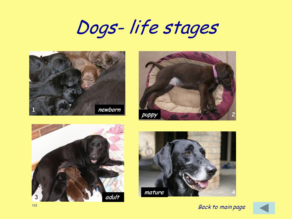 Dogs- life stages 1 newborn puppy 2 mature 4 3 adult Back to main page