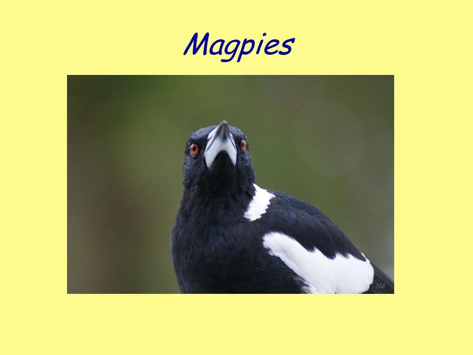 Magpies NS