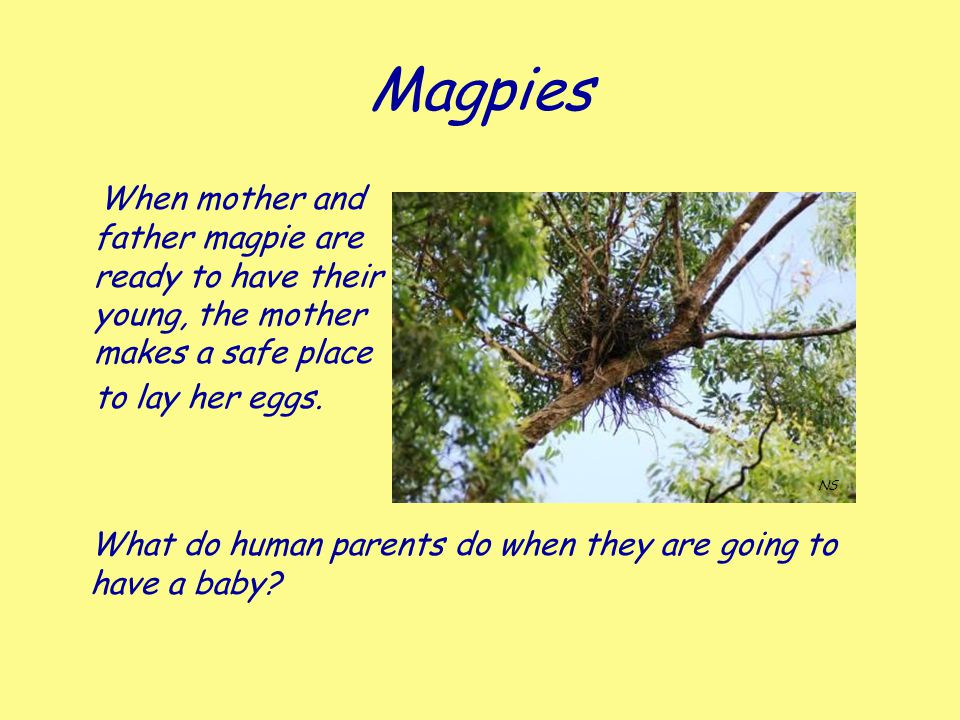 Magpies When mother and father magpie are ready to have their young, the mother makes a safe place to lay her eggs.