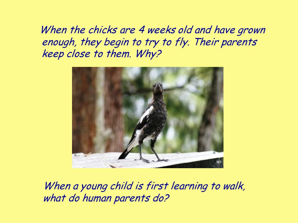 When the chicks are 4 weeks old and have grown enough, they begin to try to fly. Their parents keep close to them. Why