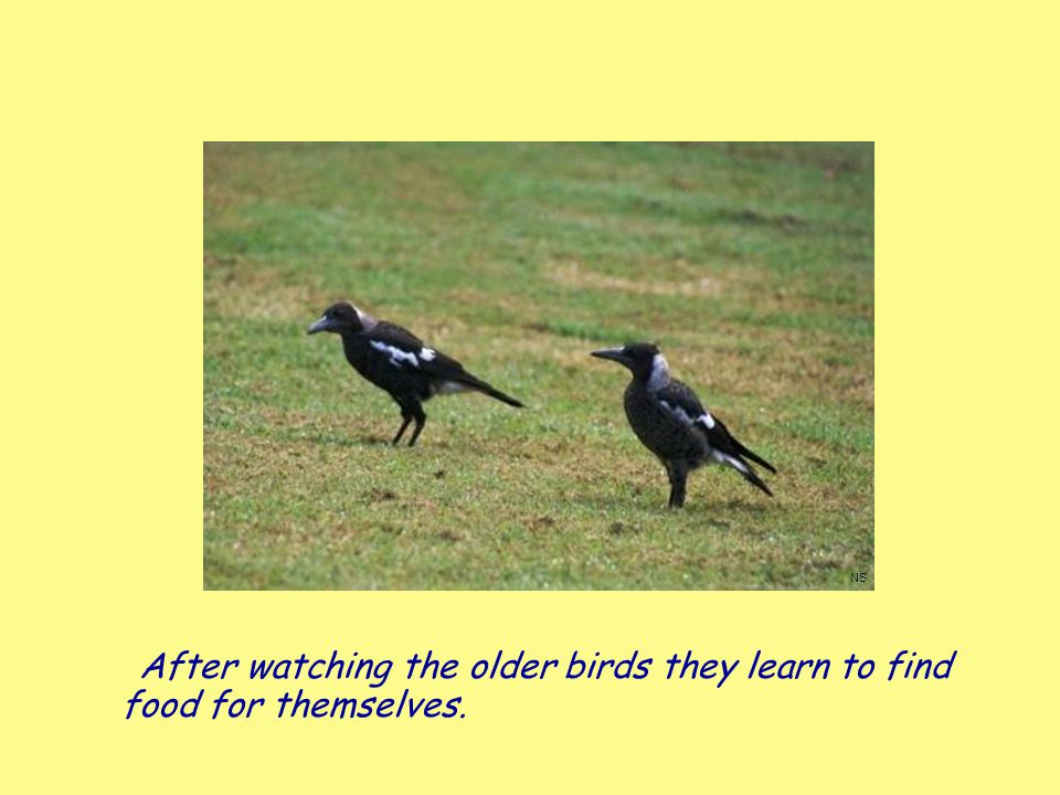 After watching the older birds they learn to find food for themselves.