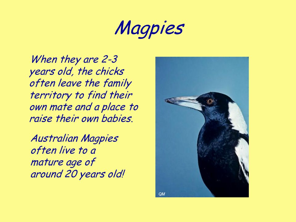 Magpies When they are 2-3 years old, the chicks often leave the family territory to find their own mate and a place to raise their own babies.