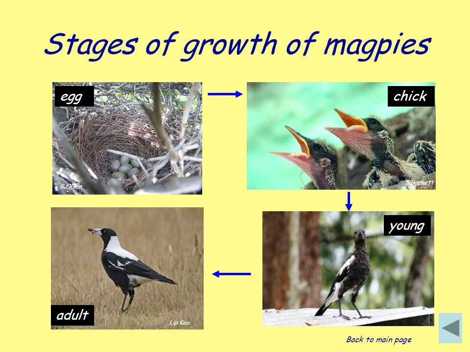 Stages of growth of magpies