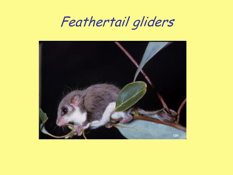 Feathertail gliders QM