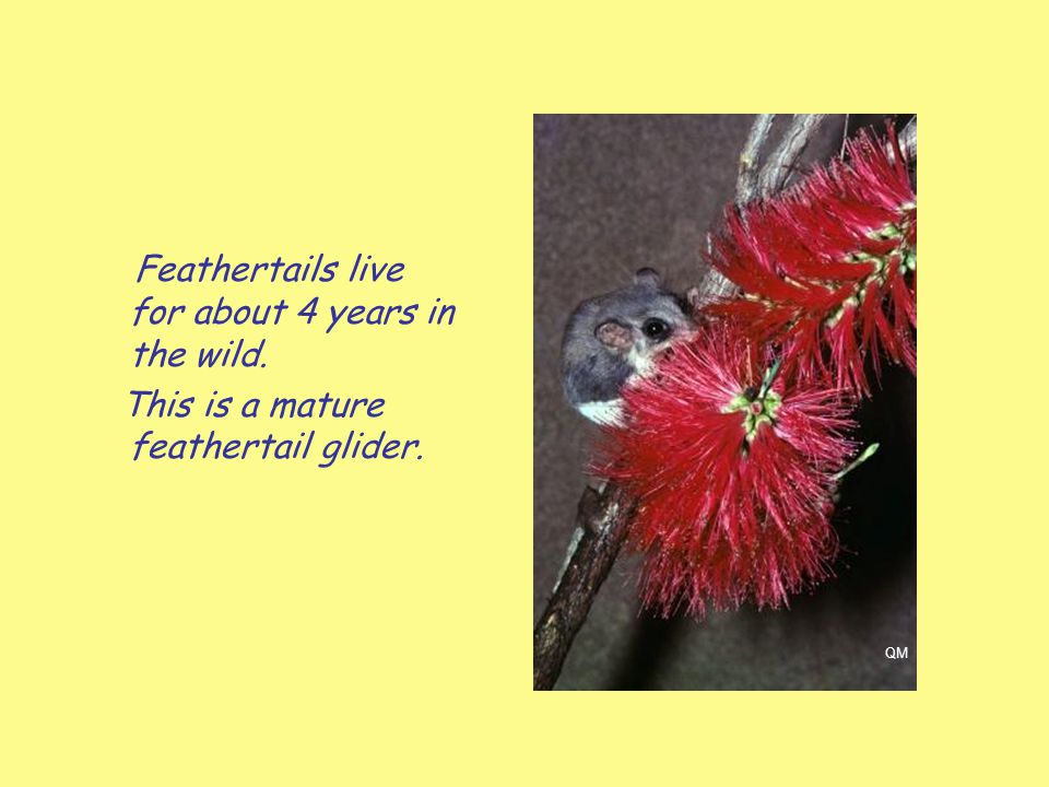 Feathertails live for about 4 years in the wild.