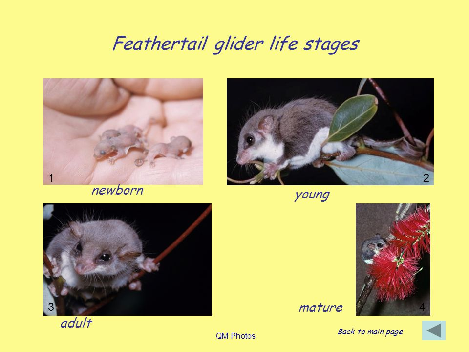 Feathertail glider life stages