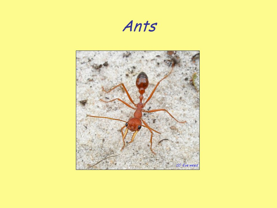 Ants CC: Eye weed