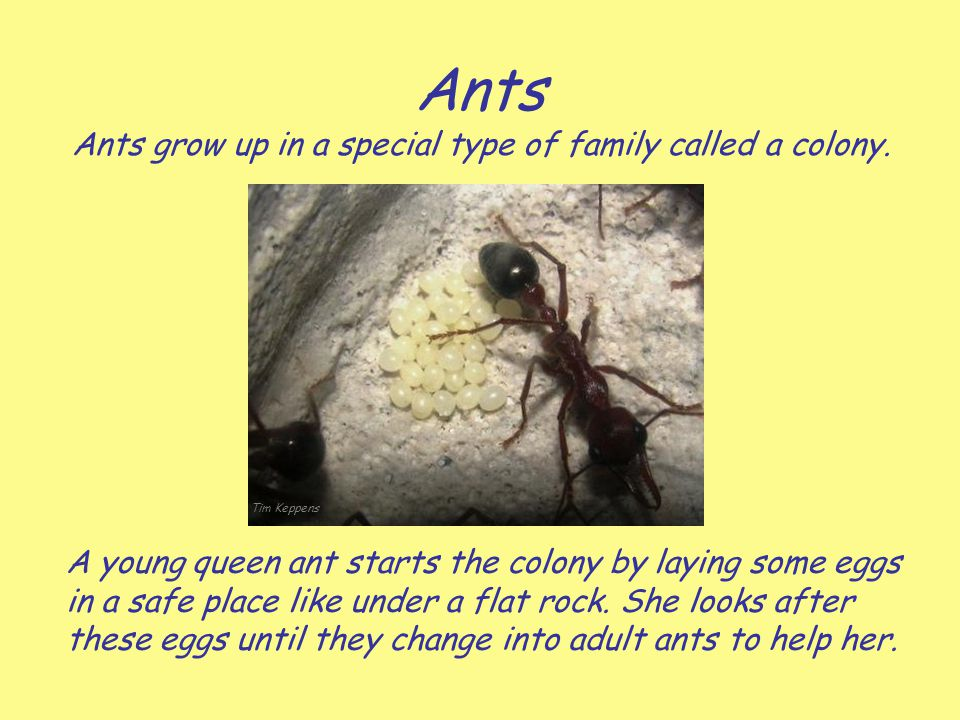 Ants Ants grow up in a special type of family called a colony.
