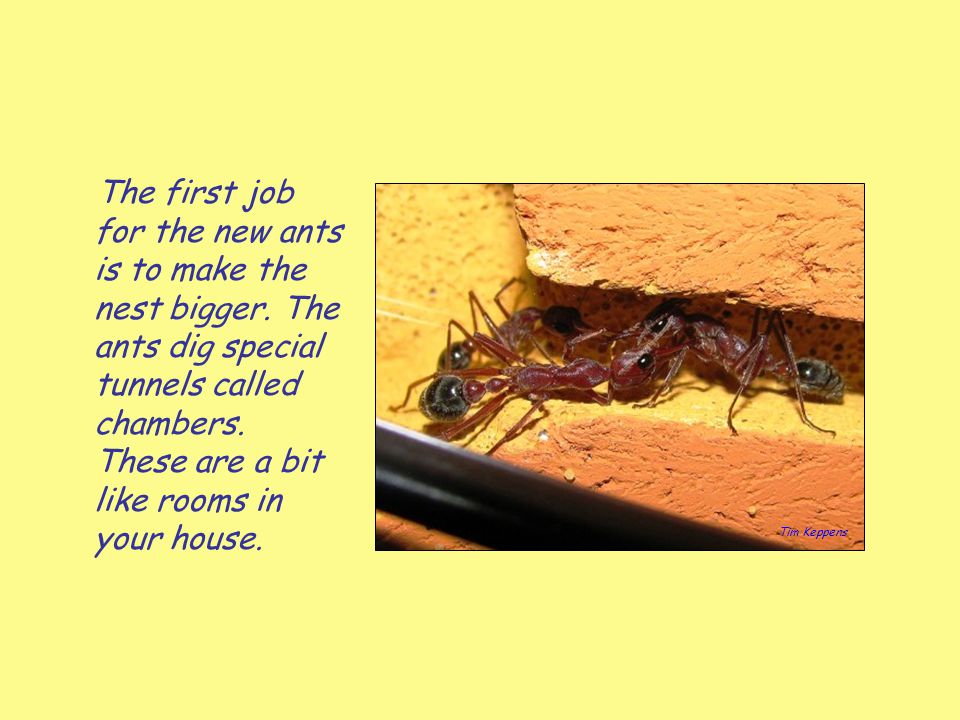 The first job for the new ants is to make the nest bigger