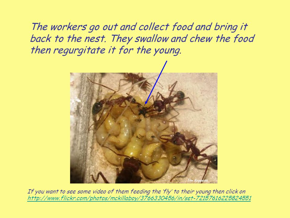 The workers go out and collect food and bring it back to the nest