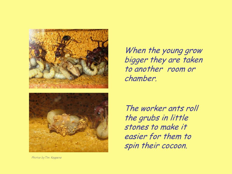 When the young grow bigger they are taken to another room or chamber.