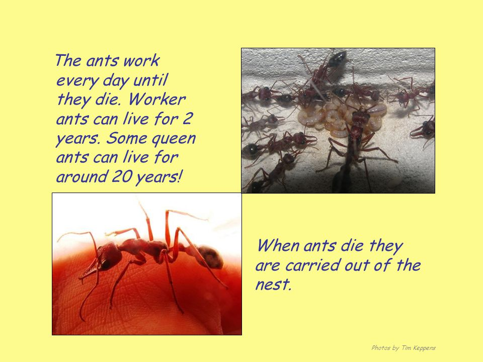 When ants die they are carried out of the nest.