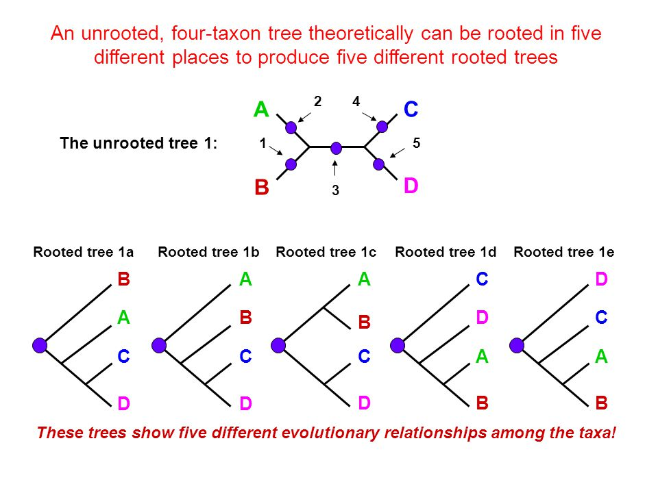 An unrooted, four-taxon tree theoretically can be rooted in five different places to produce five different rooted trees