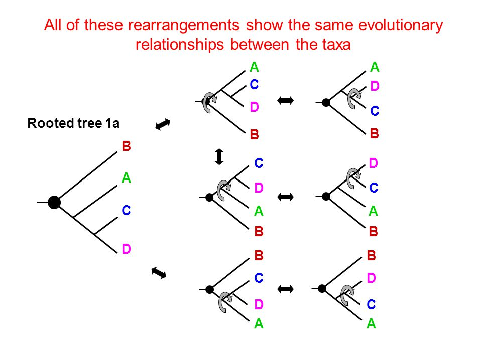 All of these rearrangements show the same evolutionary relationships between the taxa