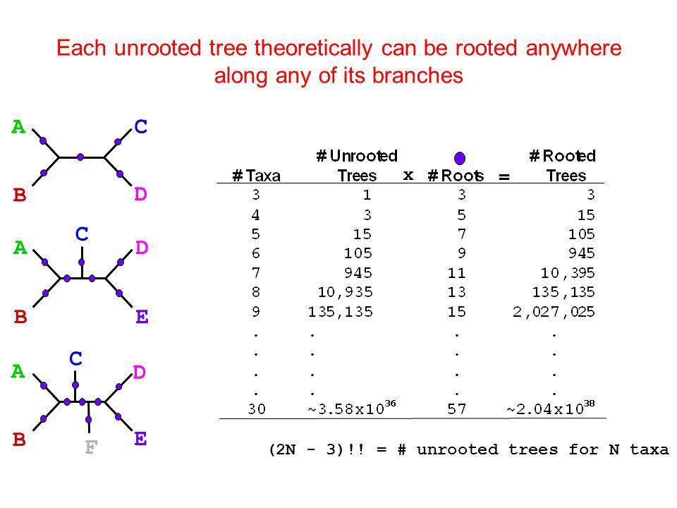 Each unrooted tree theoretically can be rooted anywhere along any of its branches