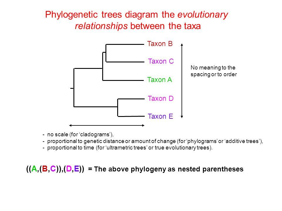 Phylogenetic trees diagram the evolutionary