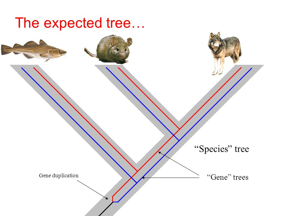 The expected tree… Gene duplication Species tree Gene trees
