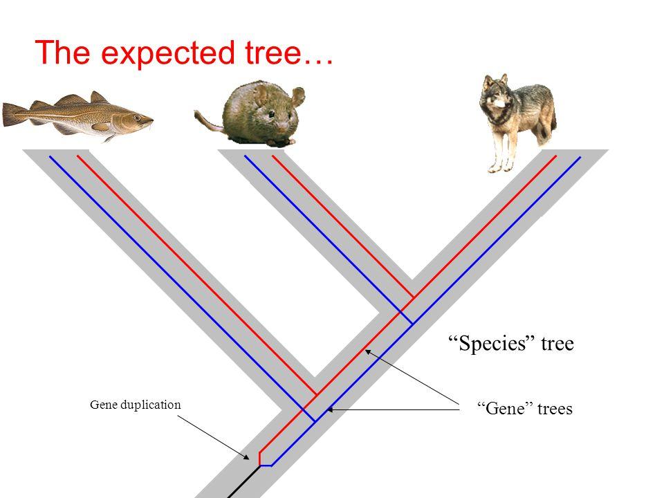 The expected tree… Gene duplication Species tree Gene trees