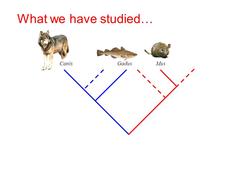 What we have studied… Canis Gadus Mus