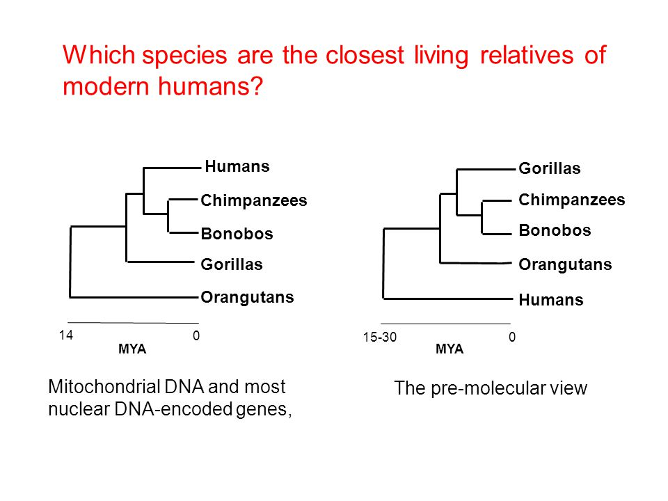 Which species are the closest living relatives of modern humans