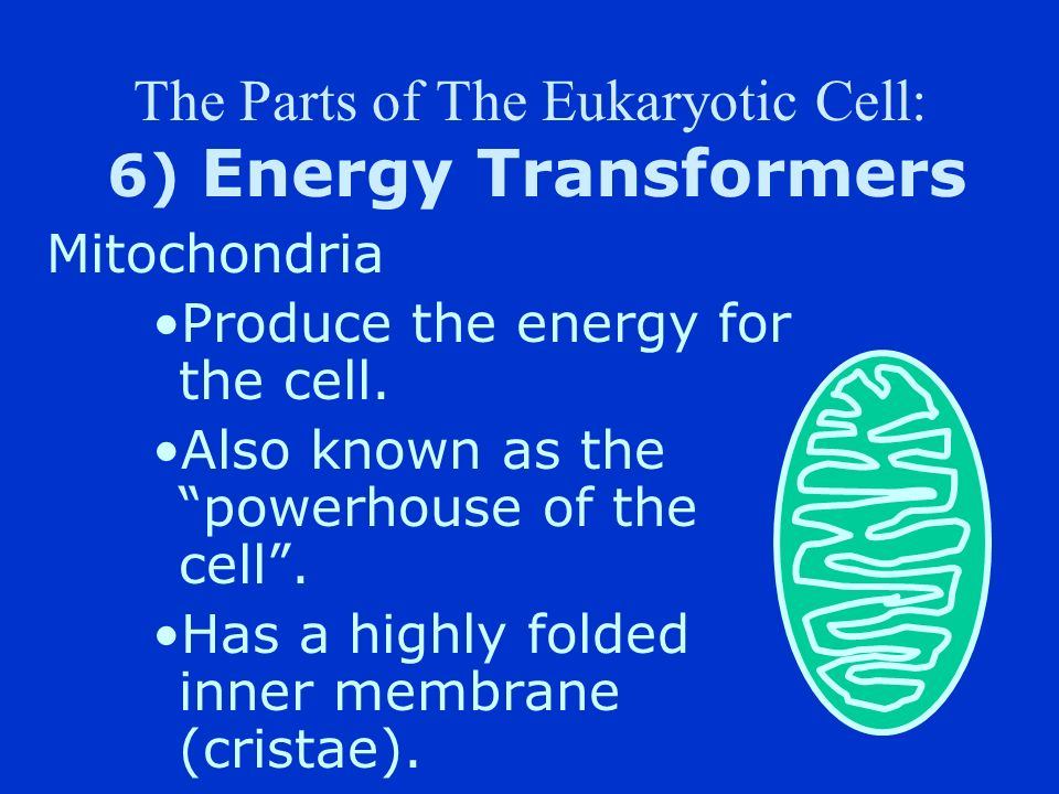 The Parts of The Eukaryotic Cell: 6) Energy Transformers