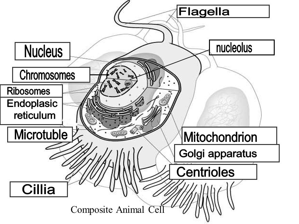 Composite Animal Cell Flagella nucleolus Nucleus Chromosomes