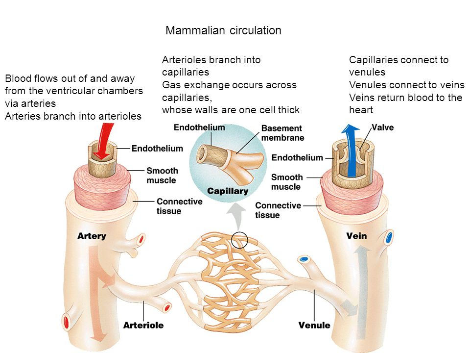 Mammalian circulation