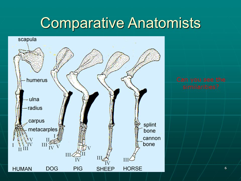 Comparative Anatomists