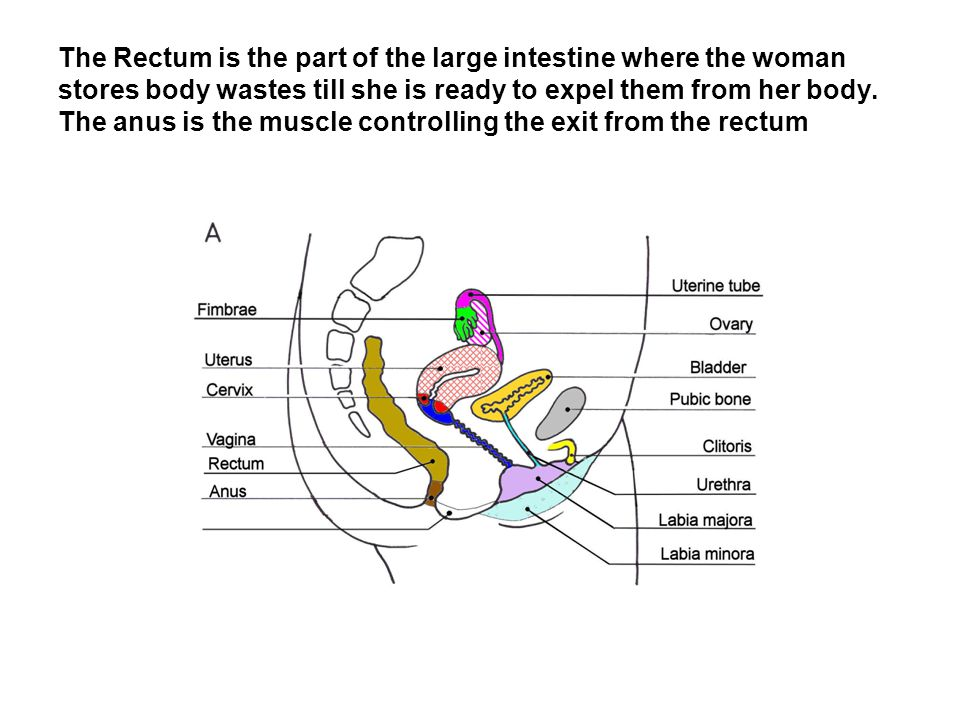 The Rectum is the part of the large intestine where the woman stores body wastes till she is ready to expel them from her body.