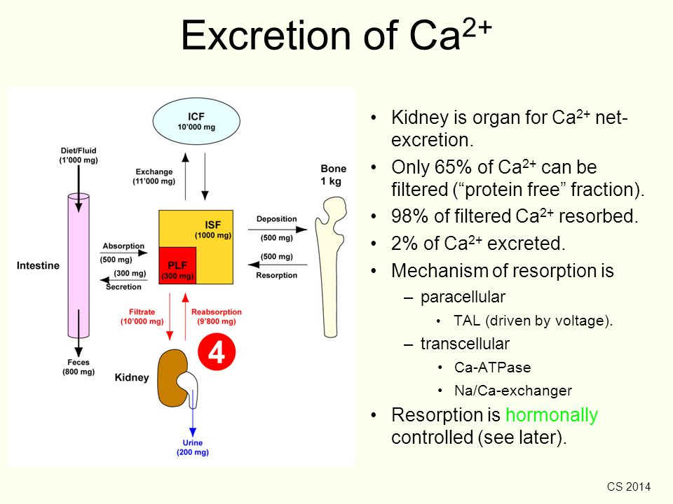 Excretion of Ca2+ Kidney is organ for Ca2+ net- excretion.