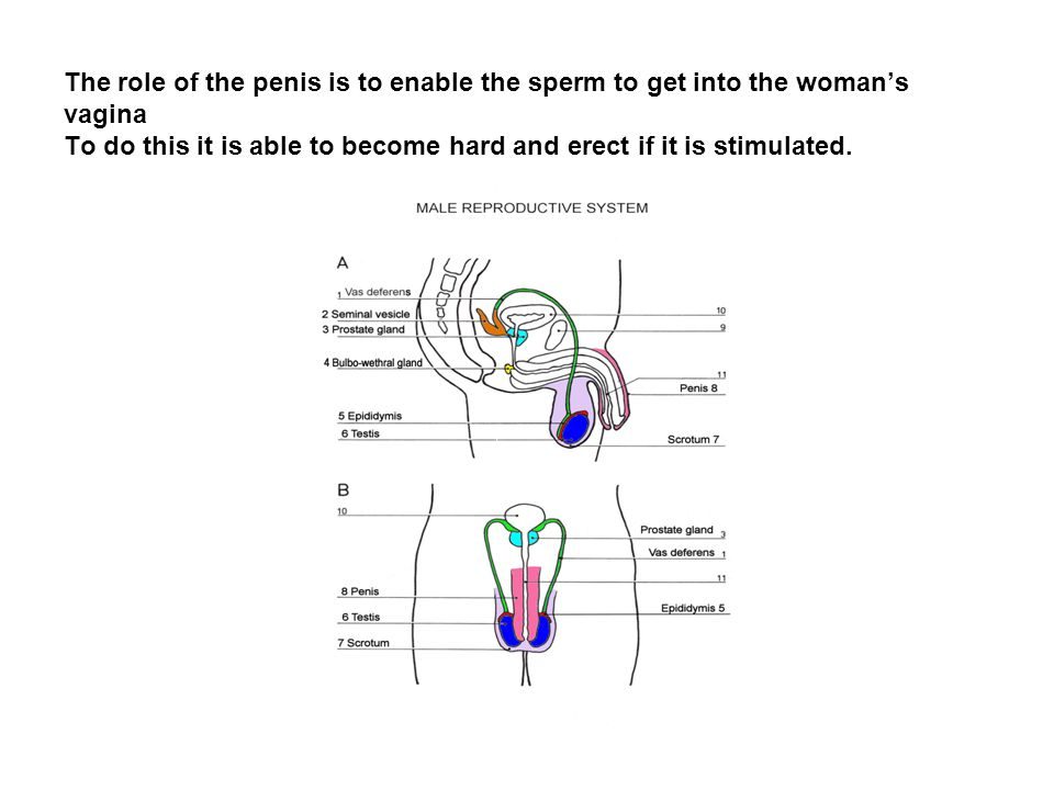 The role of the penis is to enable the sperm to get into the woman's vagina To do this it is able to become hard and erect if it is stimulated.