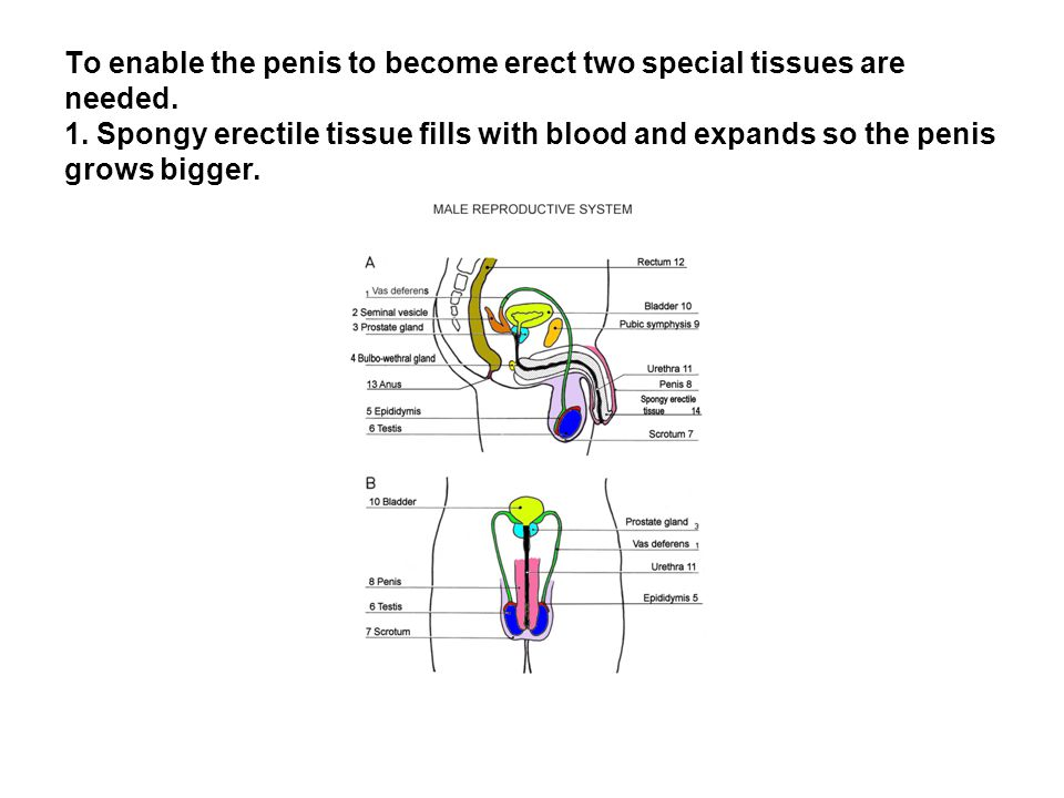 To enable the penis to become erect two special tissues are needed. 1