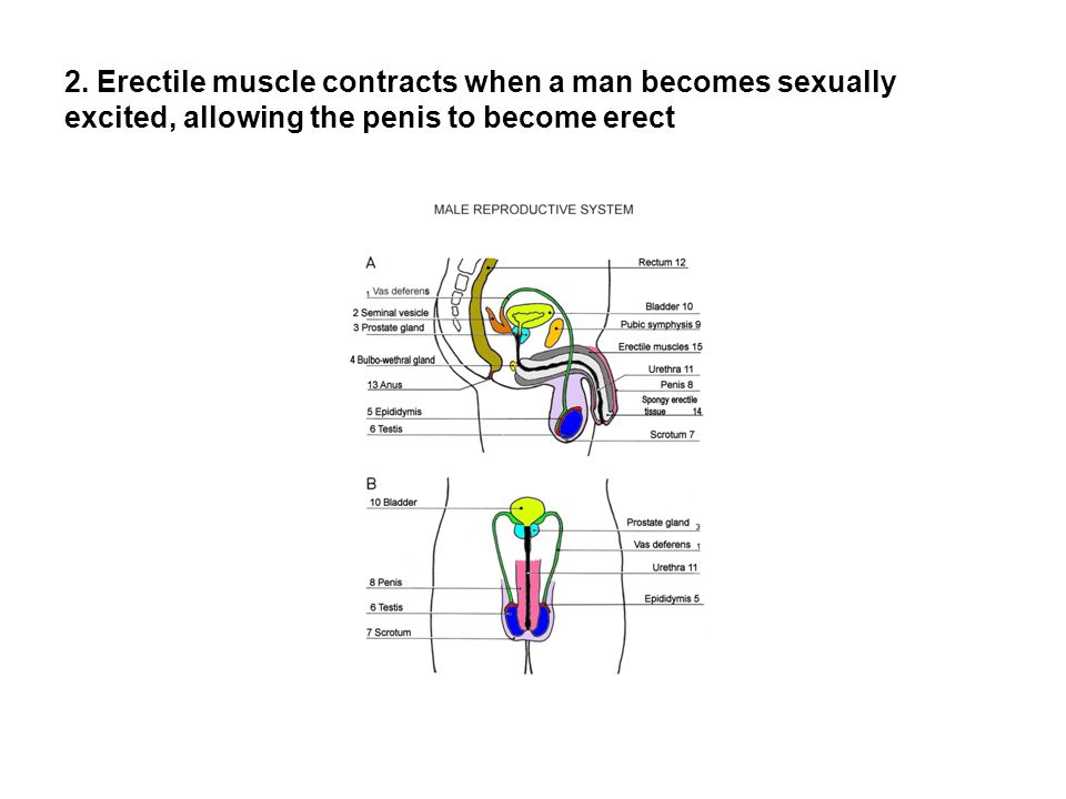 2. Erectile muscle contracts when a man becomes sexually excited, allowing the penis to become erect