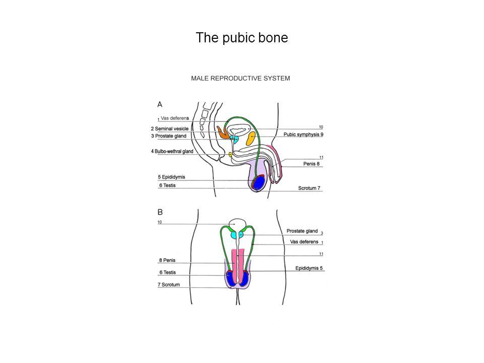 The pubic bone