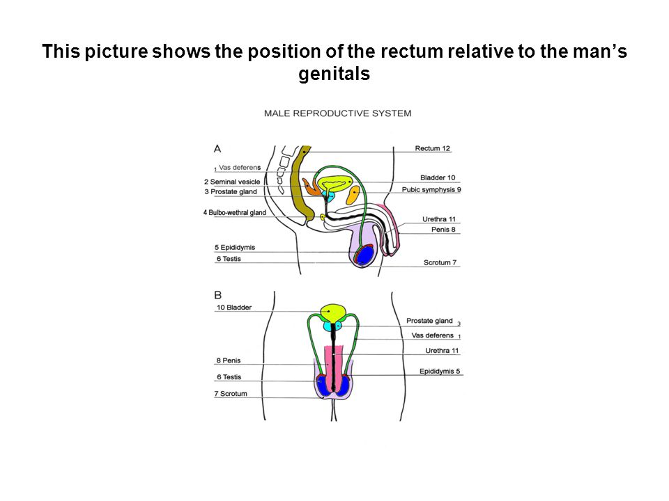This picture shows the position of the rectum relative to the man's genitals