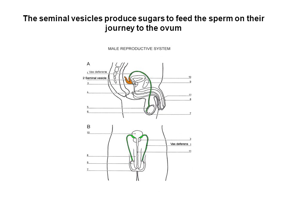 The seminal vesicles produce sugars to feed the sperm on their journey to the ovum