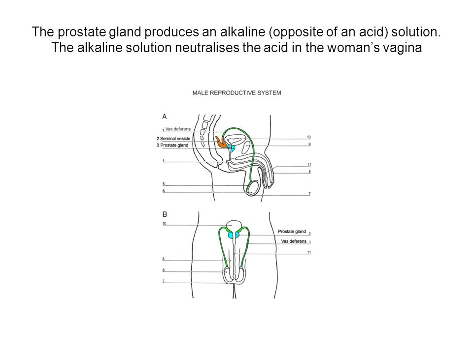 The prostate gland produces an alkaline (opposite of an acid) solution