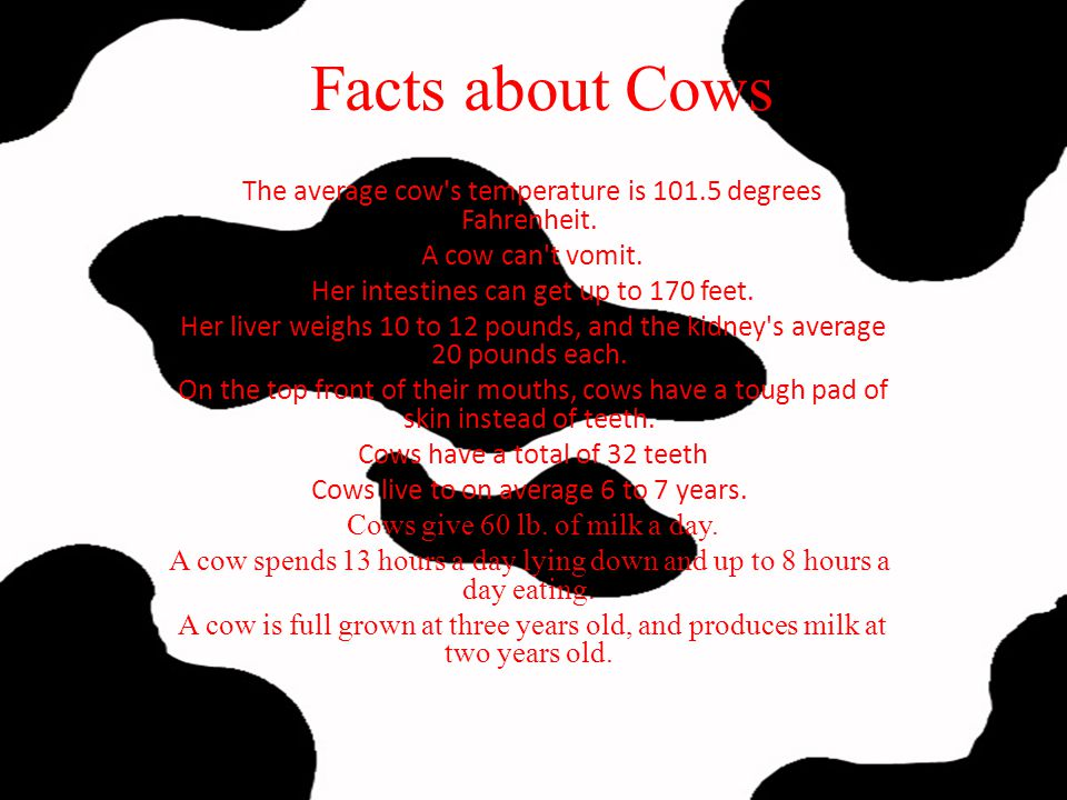 Facts about Cows The average cow s temperature is 101.5 degrees Fahrenheit. A cow can t vomit. Her intestines can get up to 170 feet.