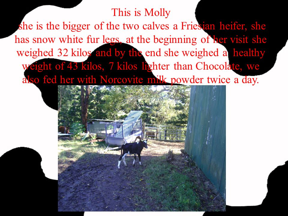 This is Molly she is the bigger of the two calves a Friesian heifer, she has snow white fur legs, at the beginning of her visit she weighed 32 kilos and by the end she weighed a healthy weight of 43 kilos, 7 kilos lighter than Chocolate, we also fed her with Norcovite milk powder twice a day.