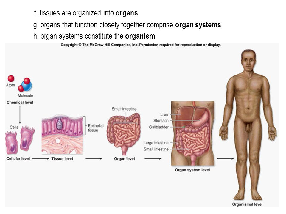 f. tissues are organized into organs