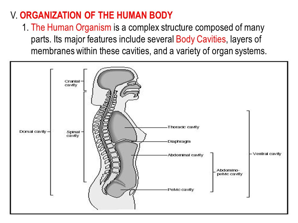 locate a diagram of an organism with the main organs and structure The major organs of the digestive system are the stomach and intestine  the structure of each component highlights the function of that particular organ.