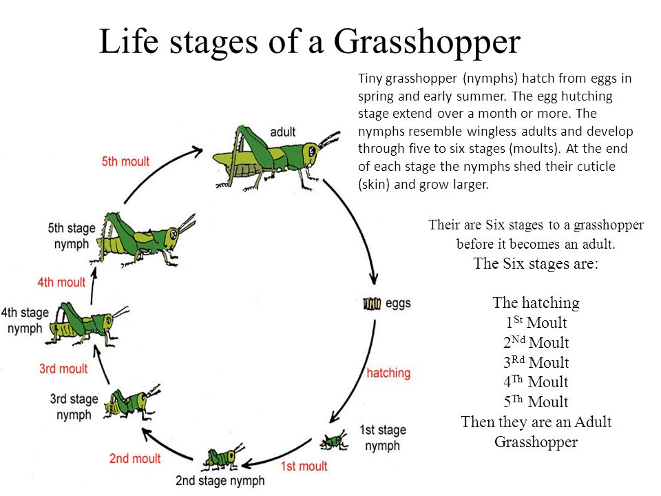Life stages of a Grasshopper