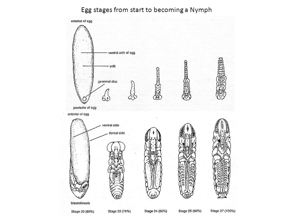Egg stages from start to becoming a Nymph