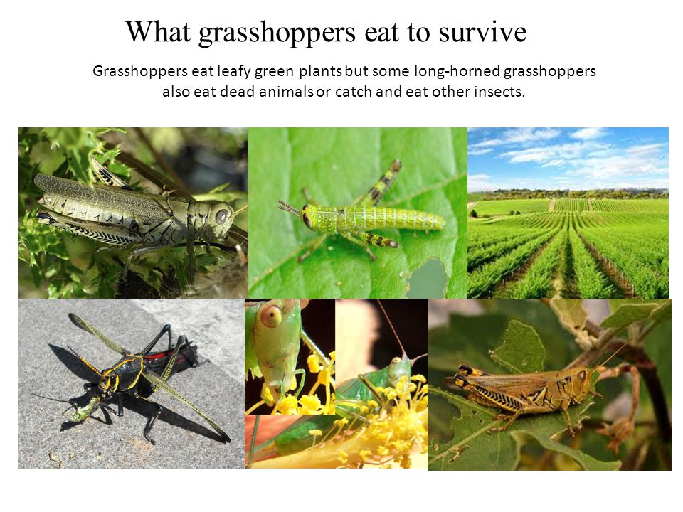 What grasshoppers eat to survive