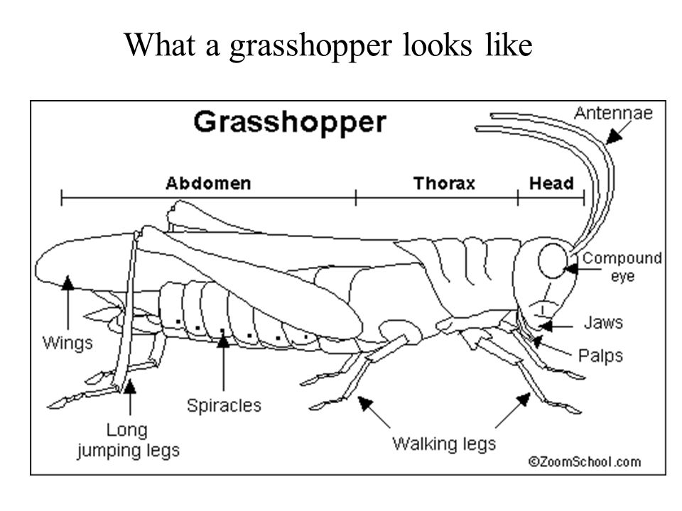 What a grasshopper looks like