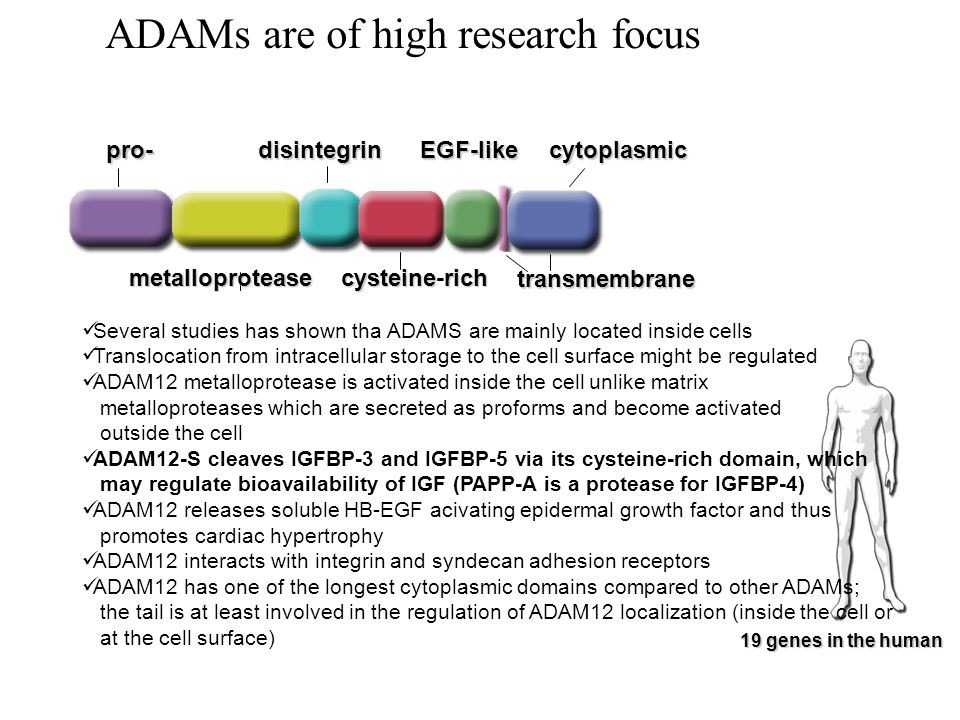 ADAMs are of high research focus