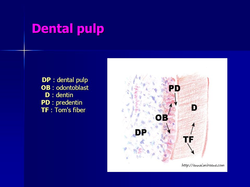 Dental pulp DP : dental pulp OB : odontoblast D : dentin PD : predentin TF : Tom s fiber