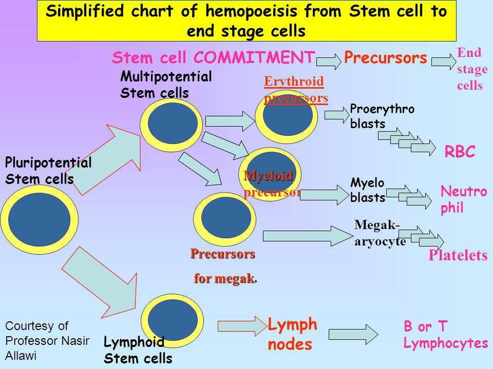Simplified chart of hemopoeisis from Stem cell to end stage cells