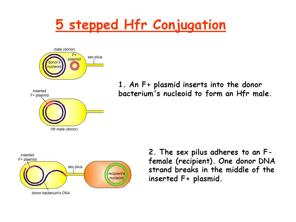 5 stepped Hfr Conjugation