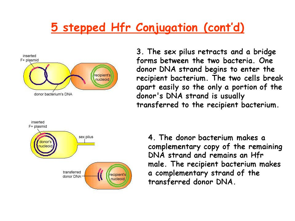 5 stepped Hfr Conjugation (cont'd)